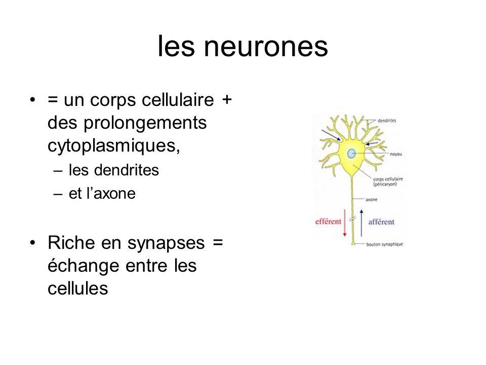 les neurones = un corps cellulaire + des prolongements cytoplasmiques, –les dendrites –et laxone Riche en synapses = échange entre les cellules