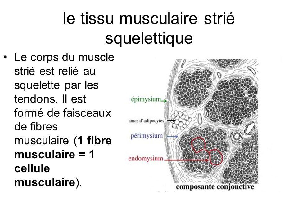 le tissu musculaire strié squelettique Le corps du muscle strié est relié au squelette par les tendons. Il est formé de faisceaux de fibres musculaire