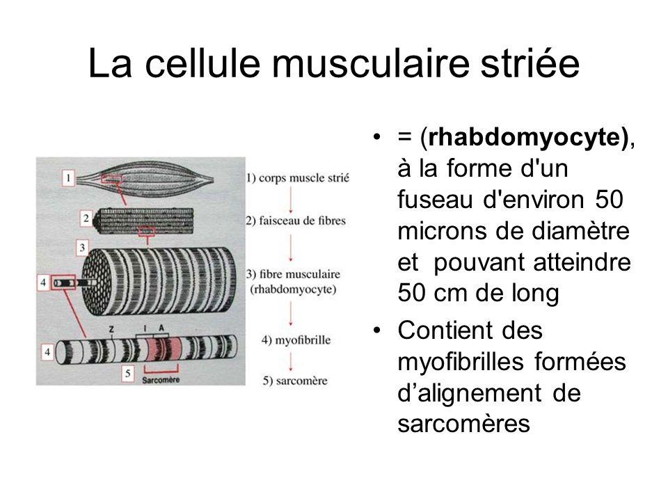 La cellule musculaire striée = (rhabdomyocyte), à la forme d'un fuseau d'environ 50 microns de diamètre et pouvant atteindre 50 cm de long Contient de