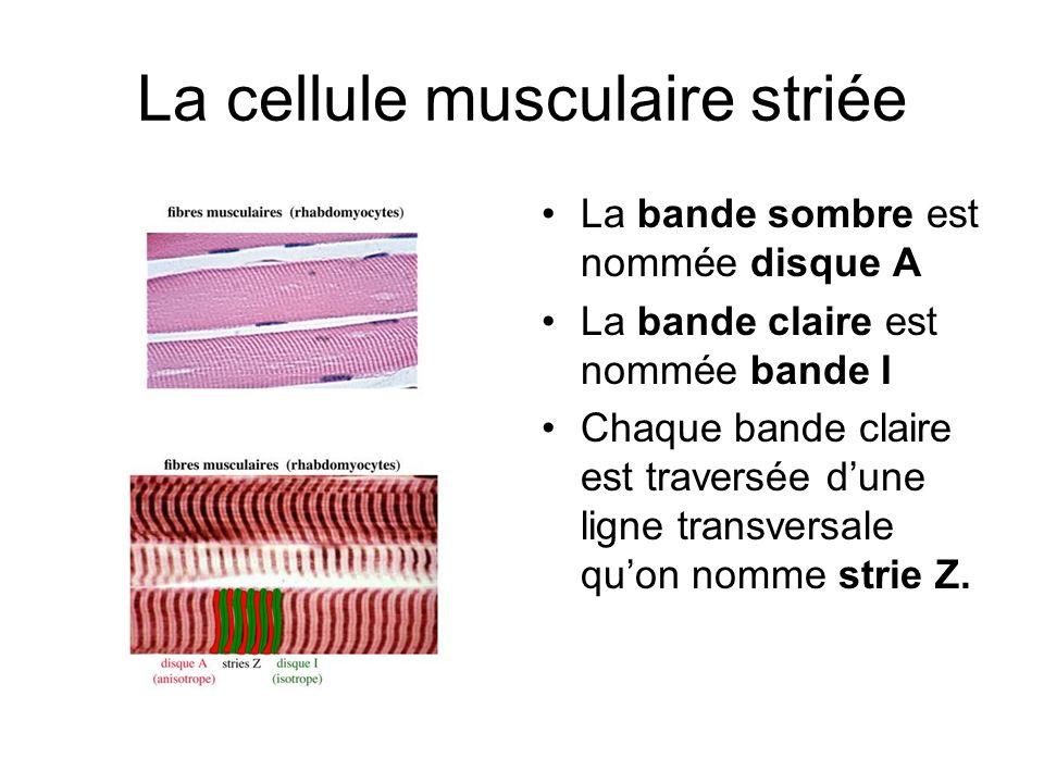 La cellule musculaire striée La bande sombre est nommée disque A La bande claire est nommée bande I Chaque bande claire est traversée dune ligne trans