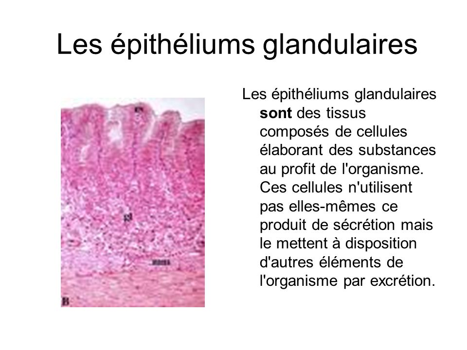 Les épithéliums glandulaires Le produit de sécrétion est excrété soit: à la surface du corps (épiderme), soit à la surface d une cavité du corps en communication avec l extérieur (muqueuse) par l intermédiaire d un canal excréteur ==> glande exocrine dans la circulation sanguine ==> glande endocrine estomac