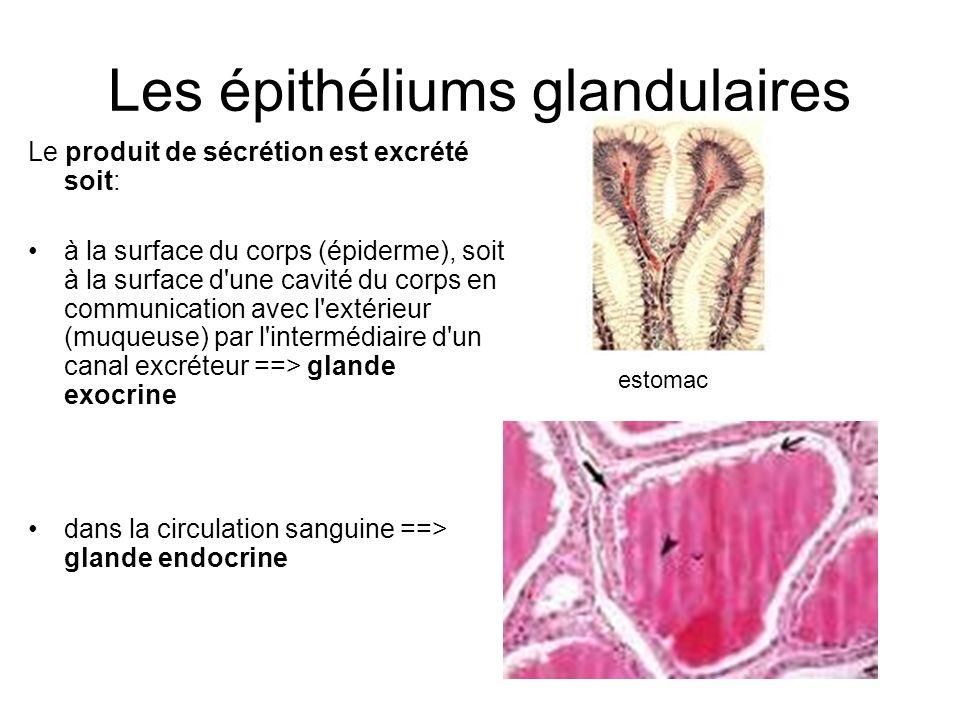 Les épithéliums glandulaires Le produit de sécrétion est excrété soit: à la surface du corps (épiderme), soit à la surface d'une cavité du corps en co