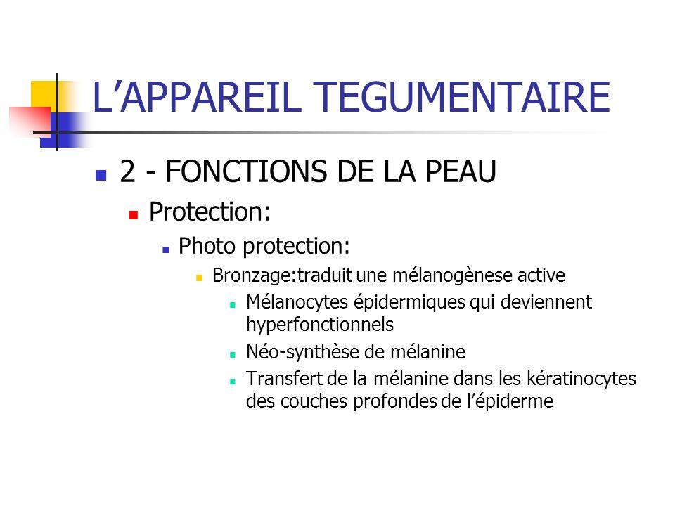 LAPPAREIL TEGUMENTAIRE 2 - FONCTIONS DE LA PEAU Protection: Photo protection: Bronzage:traduit une mélanogènese active Mélanocytes épidermiques qui de