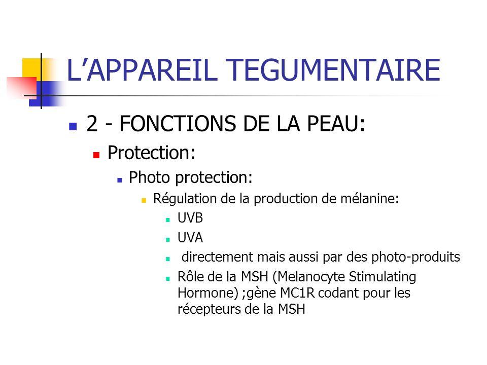 LAPPAREIL TEGUMENTAIRE 2 - FONCTIONS DE LA PEAU: Protection: Photo protection: Régulation de la production de mélanine: UVB UVA directement mais aussi