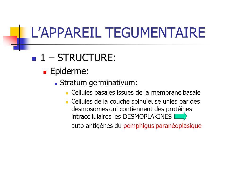 LAPPAREIL TEGUMENTAIRE 1 – STRUCTURE: Epiderme: Stratum germinativum: Cellules basales issues de la membrane basale Cellules de la couche spinuleuse u