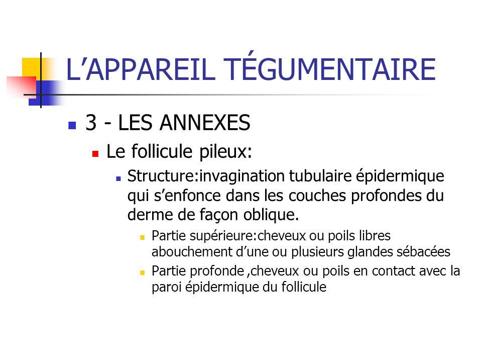 LAPPAREIL TÉGUMENTAIRE 3 - LES ANNEXES Le follicule pileux: Structure:invagination tubulaire épidermique qui senfonce dans les couches profondes du de