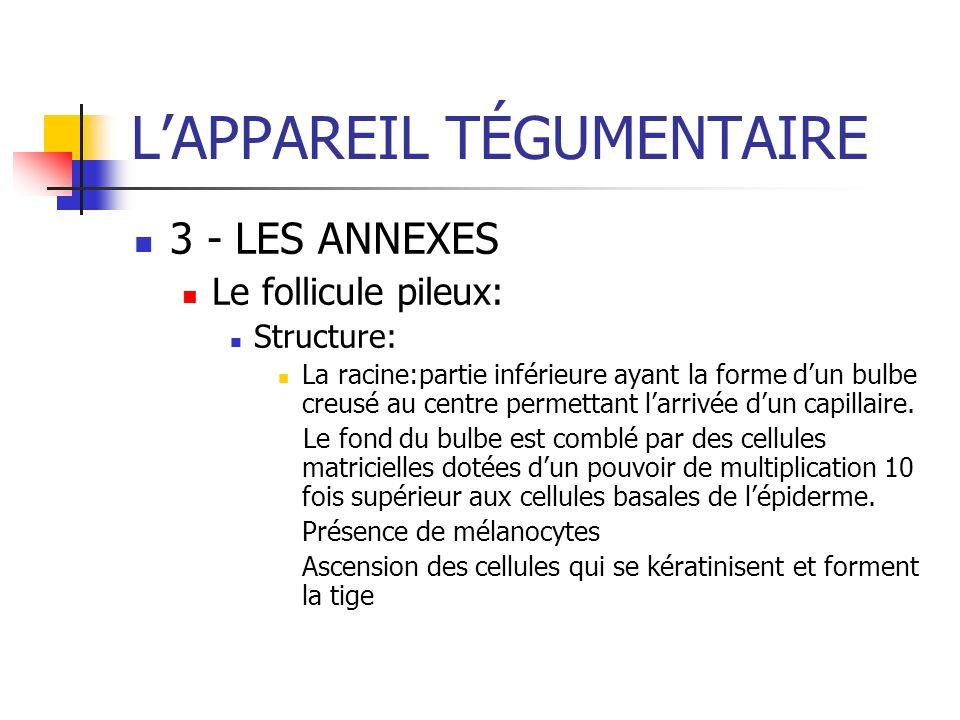 LAPPAREIL TÉGUMENTAIRE 3 - LES ANNEXES Le follicule pileux: Structure: La racine:partie inférieure ayant la forme dun bulbe creusé au centre permettan