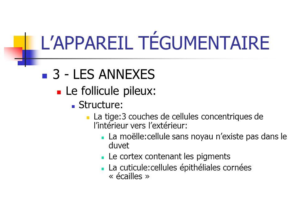 LAPPAREIL TÉGUMENTAIRE 3 - LES ANNEXES Le follicule pileux: Structure: La tige:3 couches de cellules concentriques de lintérieur vers lextérieur: La m