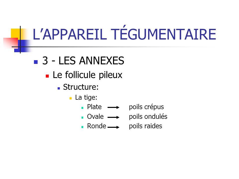LAPPAREIL TÉGUMENTAIRE 3 - LES ANNEXES Le follicule pileux Structure: La tige: Platepoils crépus Ovalepoils ondulés Rondepoils raides