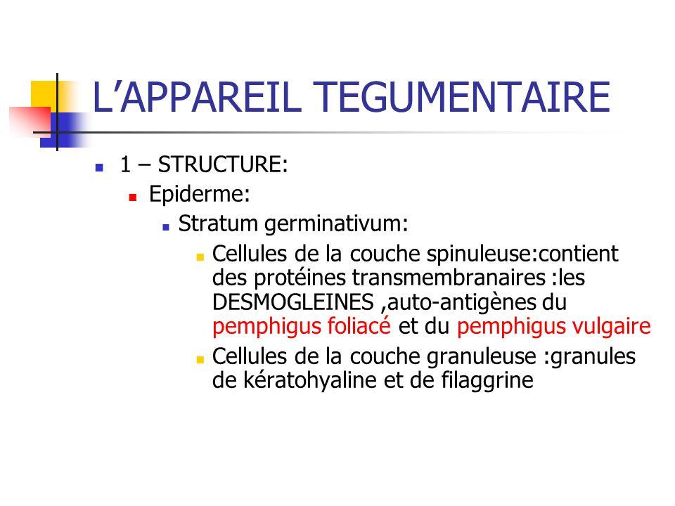 LAPPAREIL TEGUMENTAIRE 1 – STRUCTURE: Epiderme: Stratum germinativum: Cellules de la couche spinuleuse:contient des protéines transmembranaires :les D
