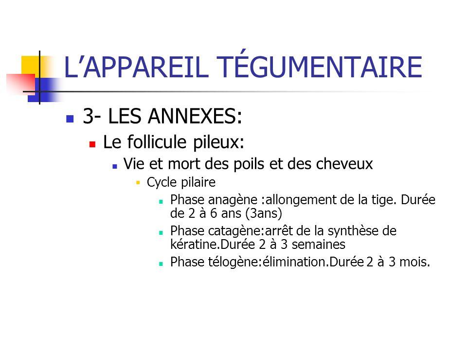 LAPPAREIL TÉGUMENTAIRE 3- LES ANNEXES: Le follicule pileux: Vie et mort des poils et des cheveux Cycle pilaire Phase anagène :allongement de la tige.