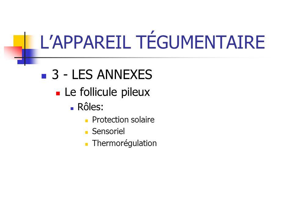 LAPPAREIL TÉGUMENTAIRE 3 - LES ANNEXES Le follicule pileux Rôles: Protection solaire Sensoriel Thermorégulation