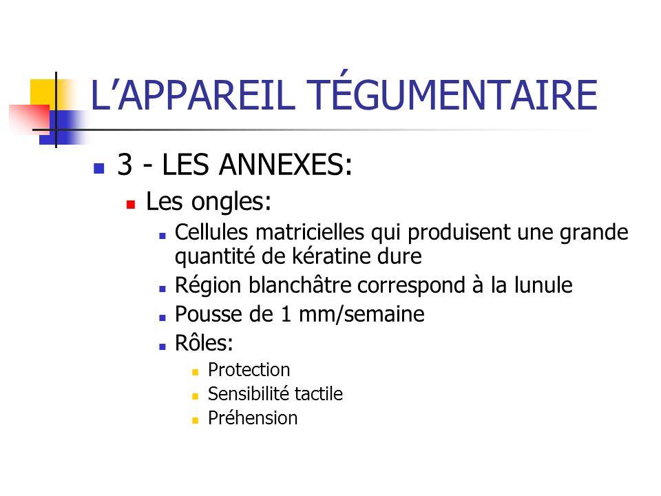 LAPPAREIL TÉGUMENTAIRE 3 - LES ANNEXES: Les ongles: Cellules matricielles qui produisent une grande quantité de kératine dure Région blanchâtre corres