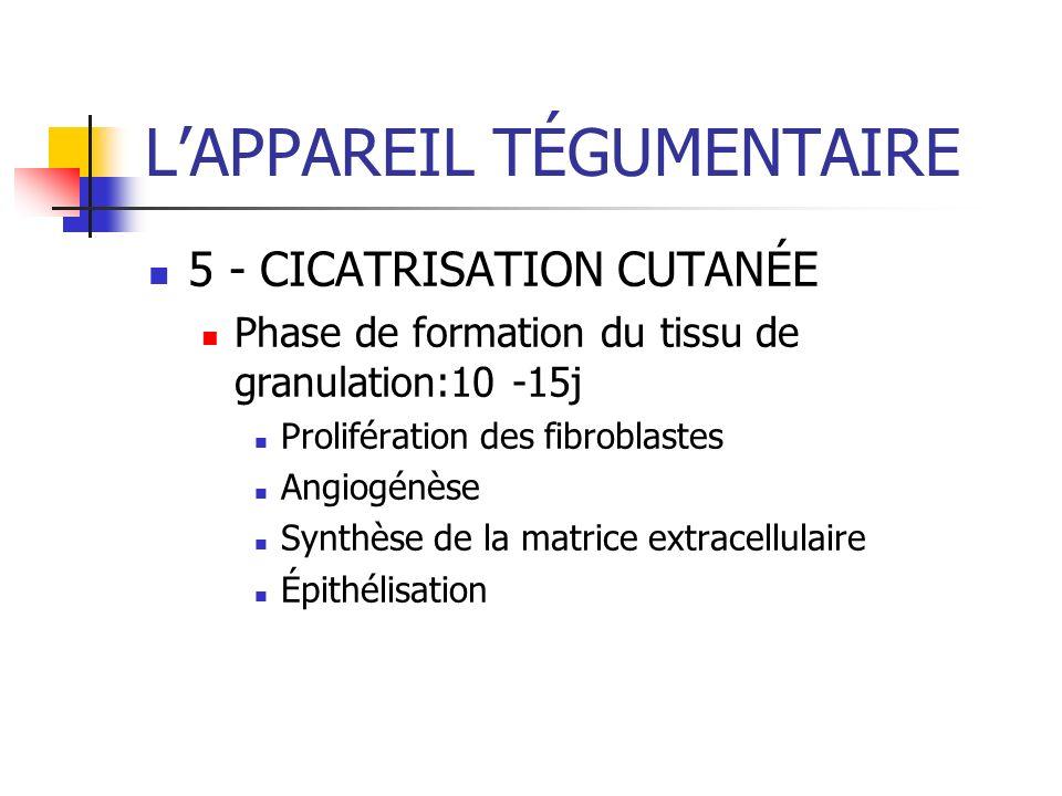LAPPAREIL TÉGUMENTAIRE 5 - CICATRISATION CUTANÉE Phase de formation du tissu de granulation:10 -15j Prolifération des fibroblastes Angiogénèse Synthès