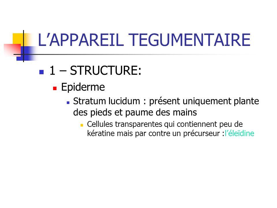 1 – STRUCTURE: Epiderme Stratum lucidum : présent uniquement plante des pieds et paume des mains Cellules transparentes qui contiennent peu de kératin