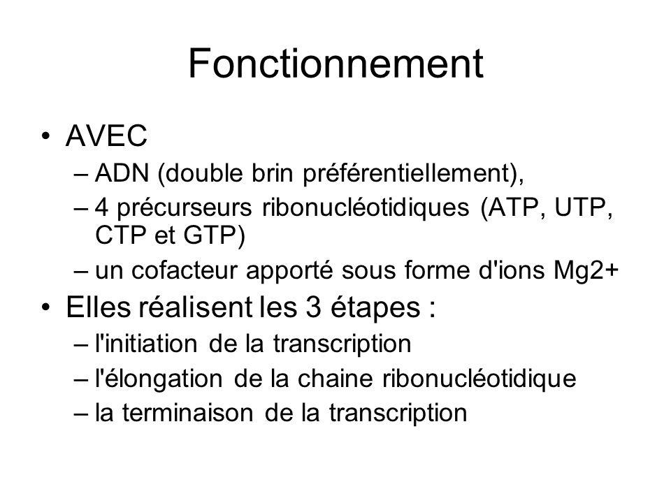 Fonctionnement AVEC –ADN (double brin préférentiellement), –4 précurseurs ribonucléotidiques (ATP, UTP, CTP et GTP) –un cofacteur apporté sous forme d