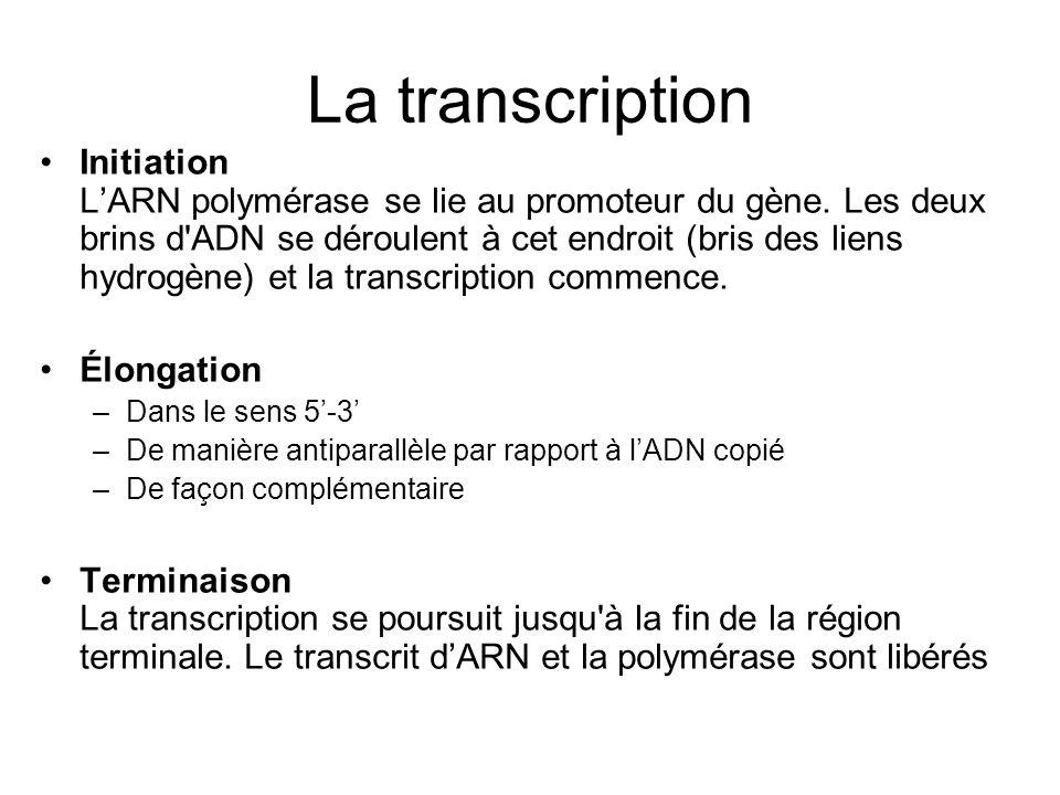 La transcription Initiation LARN polymérase se lie au promoteur du gène. Les deux brins d'ADN se déroulent à cet endroit (bris des liens hydrogène) et