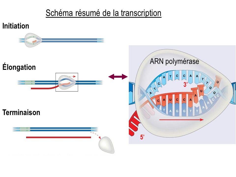 5 3 ARN polymérase Initiation Élongation Terminaison Schéma résumé de la transcription
