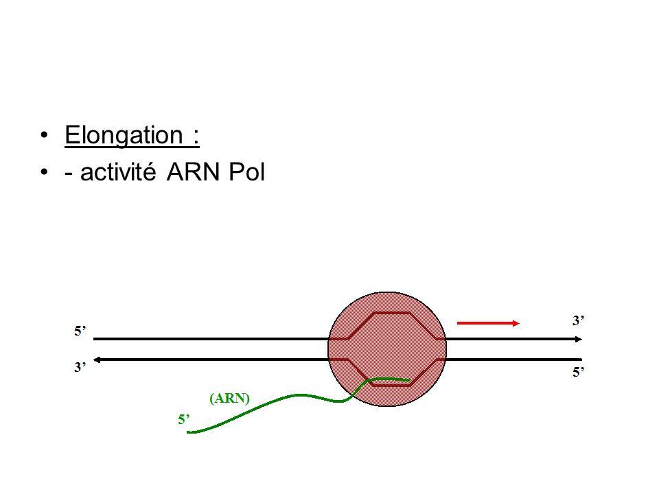 Elongation : - activité ARN Pol