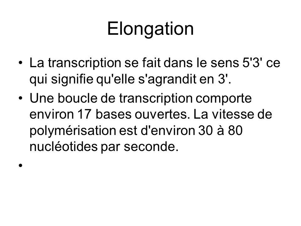 Elongation La transcription se fait dans le sens 5'3' ce qui signifie qu'elle s'agrandit en 3'. Une boucle de transcription comporte environ 17 bases