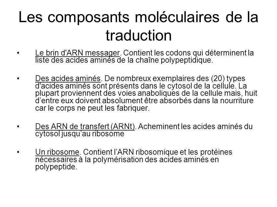 Les composants moléculaires de la traduction Le brin d'ARN messager. Contient les codons qui déterminent la liste des acides aminés de la chaîne polyp