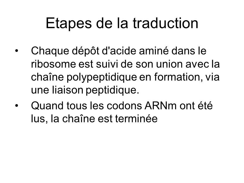 Etapes de la traduction Chaque dépôt d'acide aminé dans le ribosome est suivi de son union avec la chaîne polypeptidique en formation, via une liaison