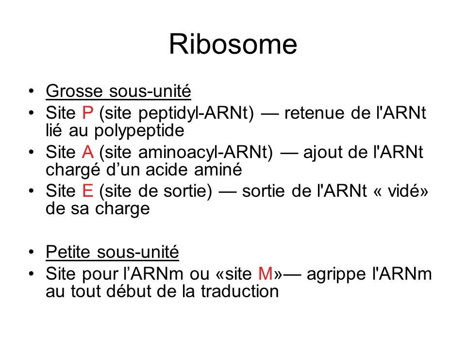 Ribosome Grosse sous-unité Site P (site peptidyl-ARNt) retenue de l'ARNt lié au polypeptide Site A (site aminoacyl-ARNt) ajout de l'ARNt chargé dun ac