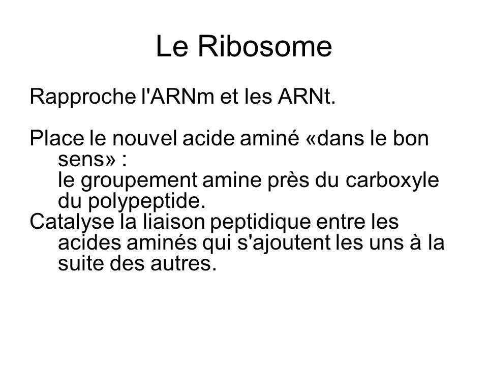 Le Ribosome Rapproche l'ARNm et les ARNt. Place le nouvel acide aminé «dans le bon sens» : le groupement amine près du carboxyle du polypeptide. Catal