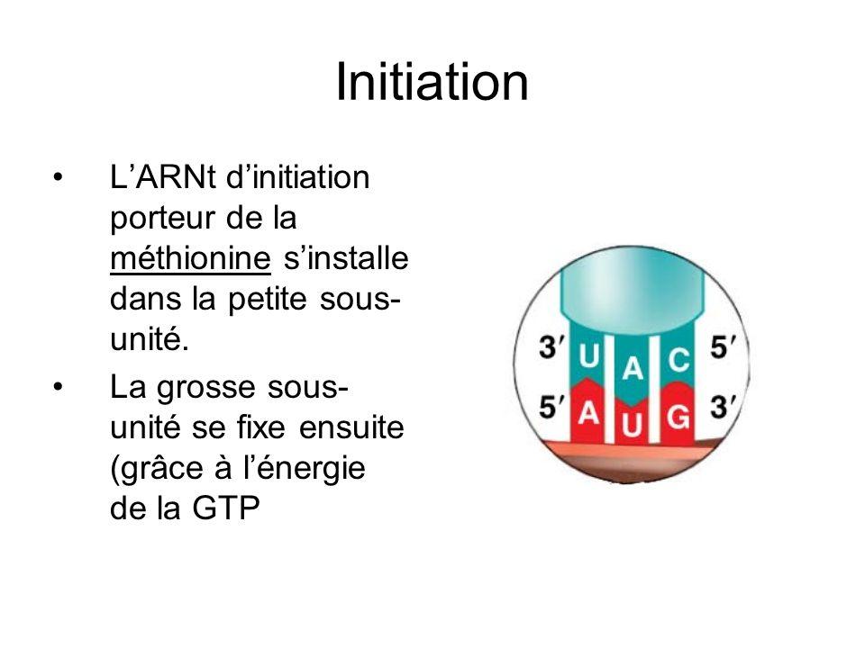 Initiation LARNt dinitiation porteur de la méthionine sinstalle dans la petite sous- unité. La grosse sous- unité se fixe ensuite (grâce à lénergie de