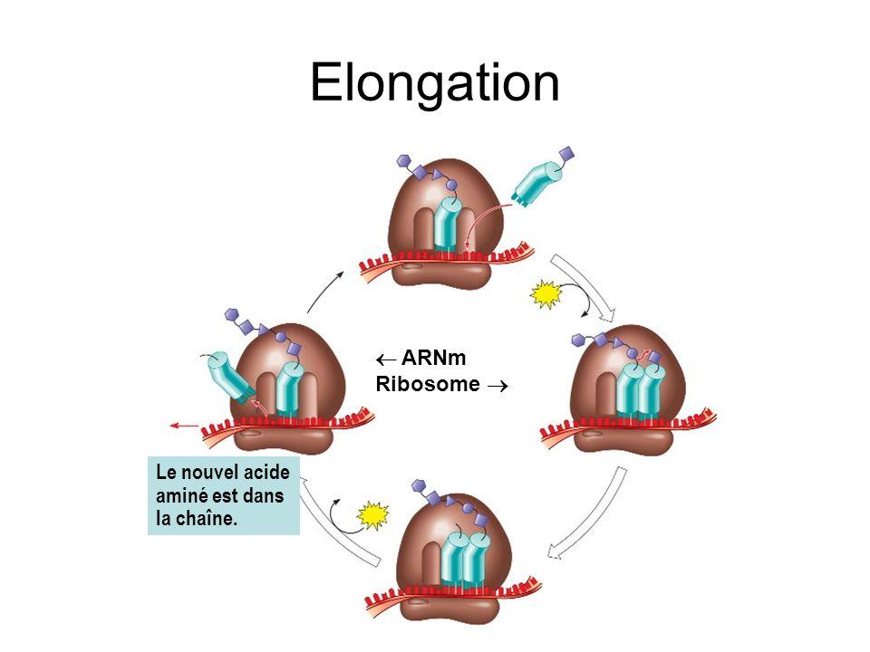 Elongation ARNm Ribosome Le nouvel acide aminé est dans la chaîne.
