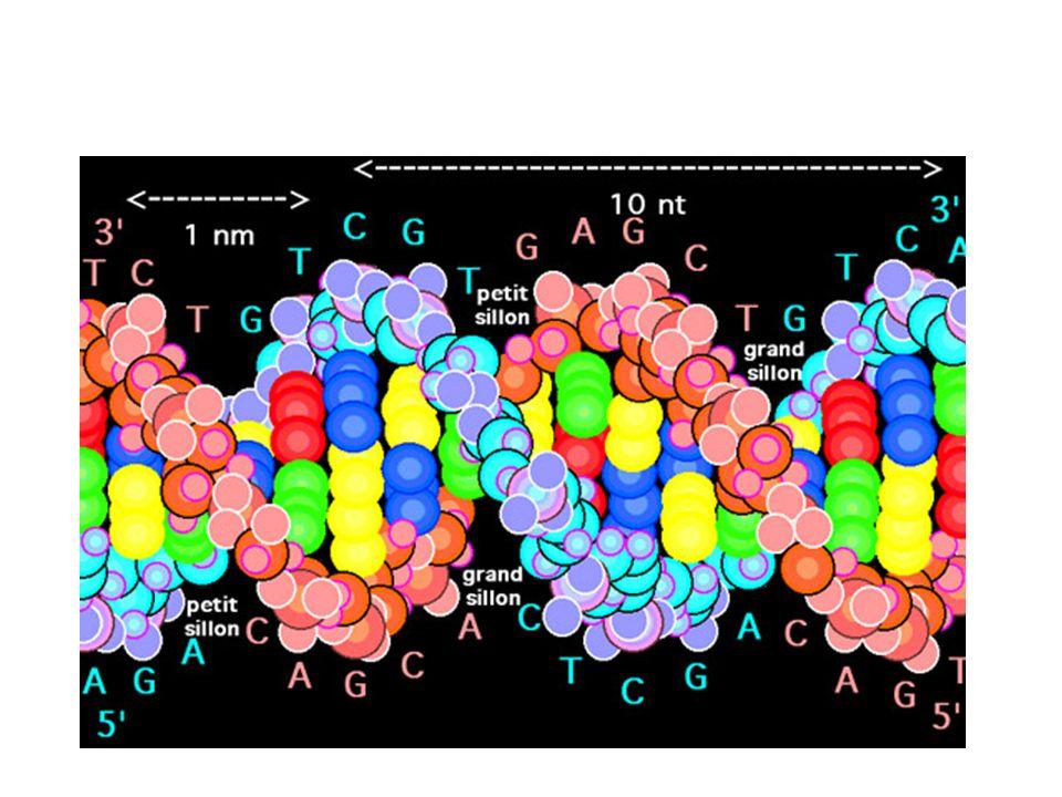 Les gènes L ensemble de l information génétique peut s écrire ainsi en 3 milliards de lettres = les gènes Un gène est un ensemble de nucléotides qui contient toute linformation pour transcrire un ARNm en protéine.