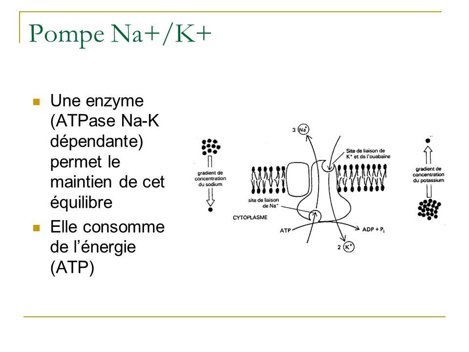 Pompe Na+/K+ Une enzyme (ATPase Na-K dépendante) permet le maintien de cet équilibre Elle consomme de lénergie (ATP)