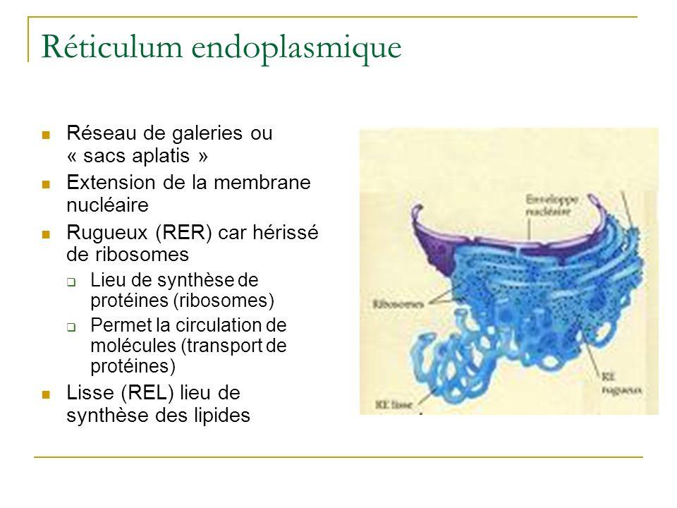 Réticulum endoplasmique Réseau de galeries ou « sacs aplatis » Extension de la membrane nucléaire Rugueux (RER) car hérissé de ribosomes Lieu de synth