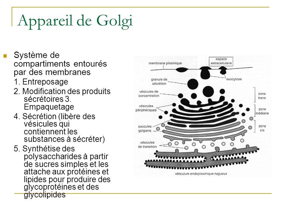 Appareil de Golgi Système de compartiments entourés par des membranes 1. Entreposage 2. Modification des produits sécrétoires 3. Empaquetage 4. Sécrét