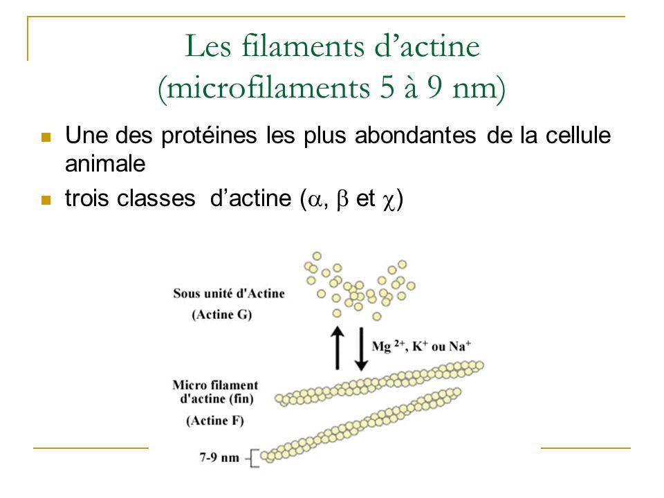 Les filaments dactine (microfilaments 5 à 9 nm) Une des protéines les plus abondantes de la cellule animale trois classes dactine (, et )