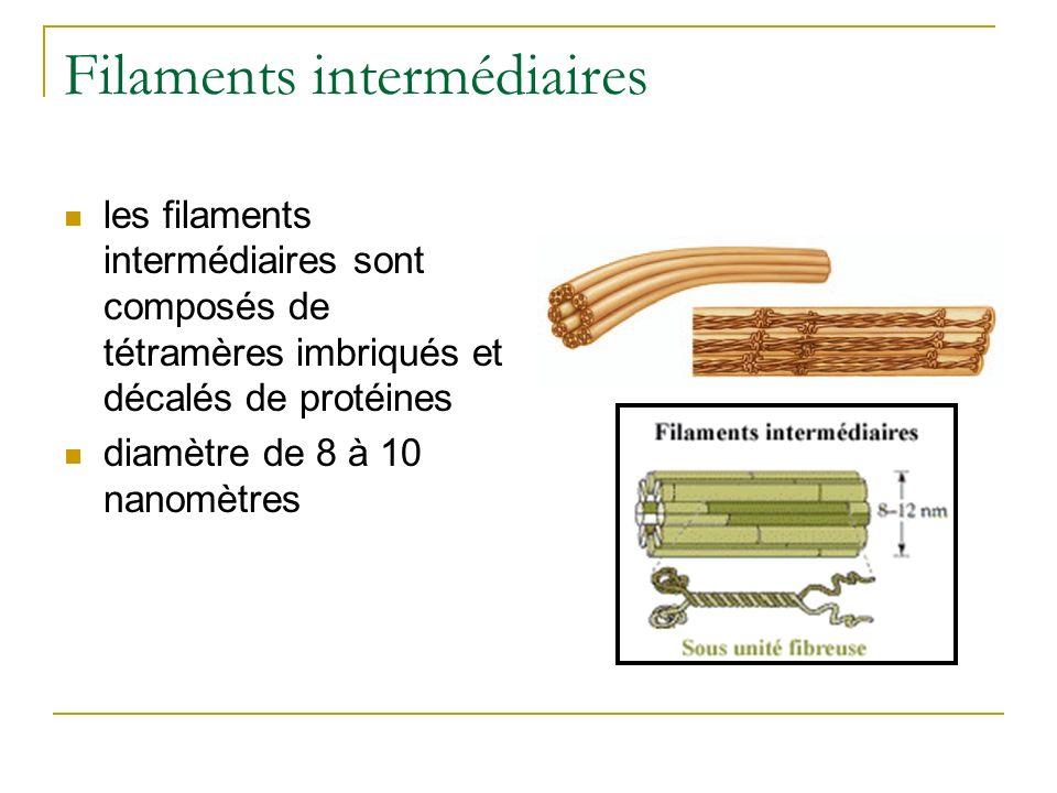 Filaments intermédiaires les filaments intermédiaires sont composés de tétramères imbriqués et décalés de protéines diamètre de 8 à 10 nanomètres
