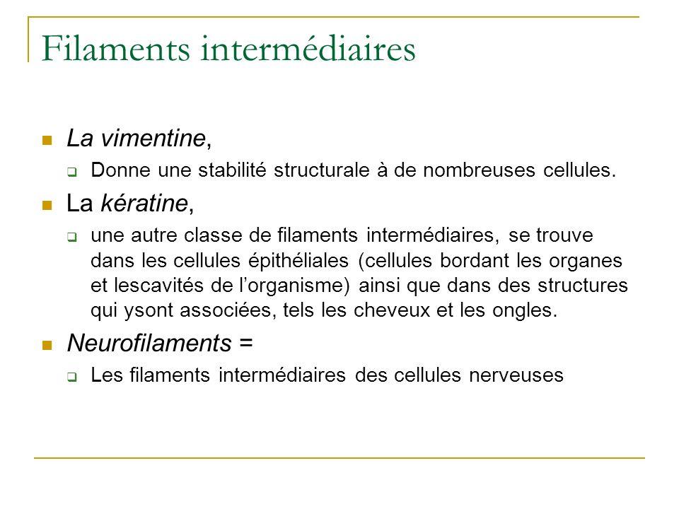 Filaments intermédiaires La vimentine, Donne une stabilité structurale à de nombreuses cellules. La kératine, une autre classe de filaments intermédia