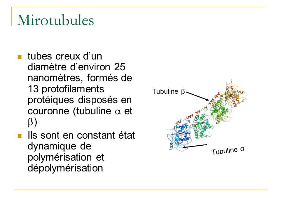 Mirotubules tubes creux dun diamètre denviron 25 nanomètres, formés de 13 protofilaments protéiques disposés en couronne (tubuline et ) Ils sont en co