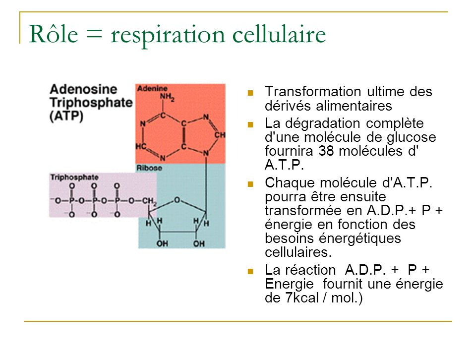 Rôle = respiration cellulaire Transformation ultime des dérivés alimentaires La dégradation complète d'une molécule de glucose fournira 38 molécules d
