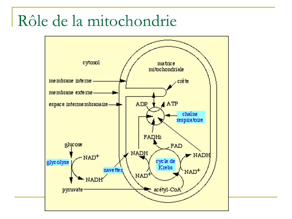 Rôle de la mitochondrie