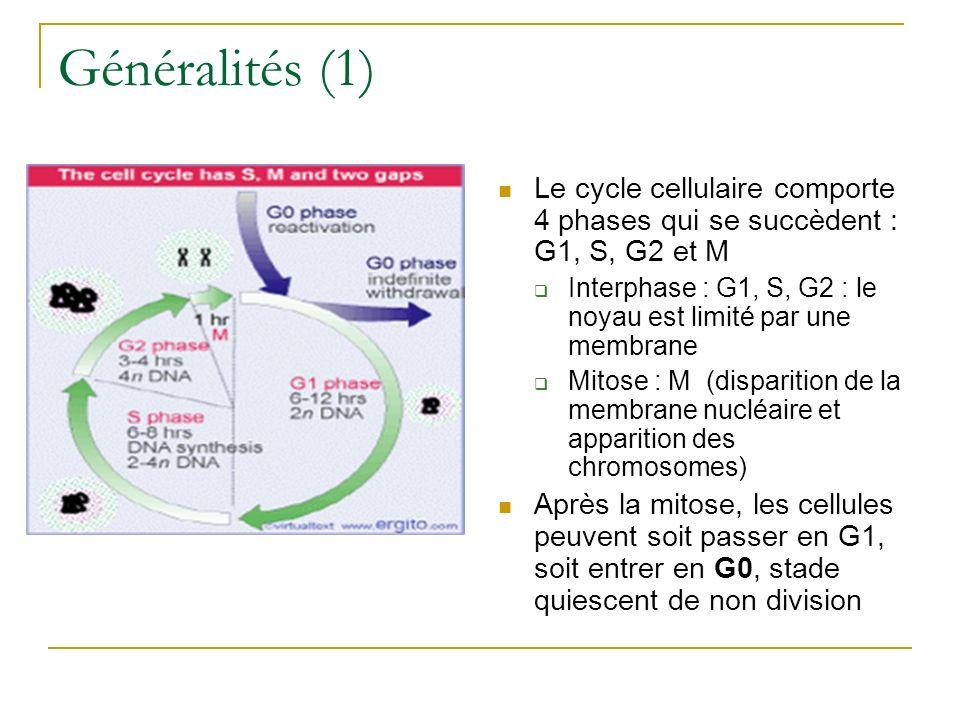 Généralités (1) Le cycle cellulaire comporte 4 phases qui se succèdent : G1, S, G2 et M Interphase : G1, S, G2 : le noyau est limité par une membrane