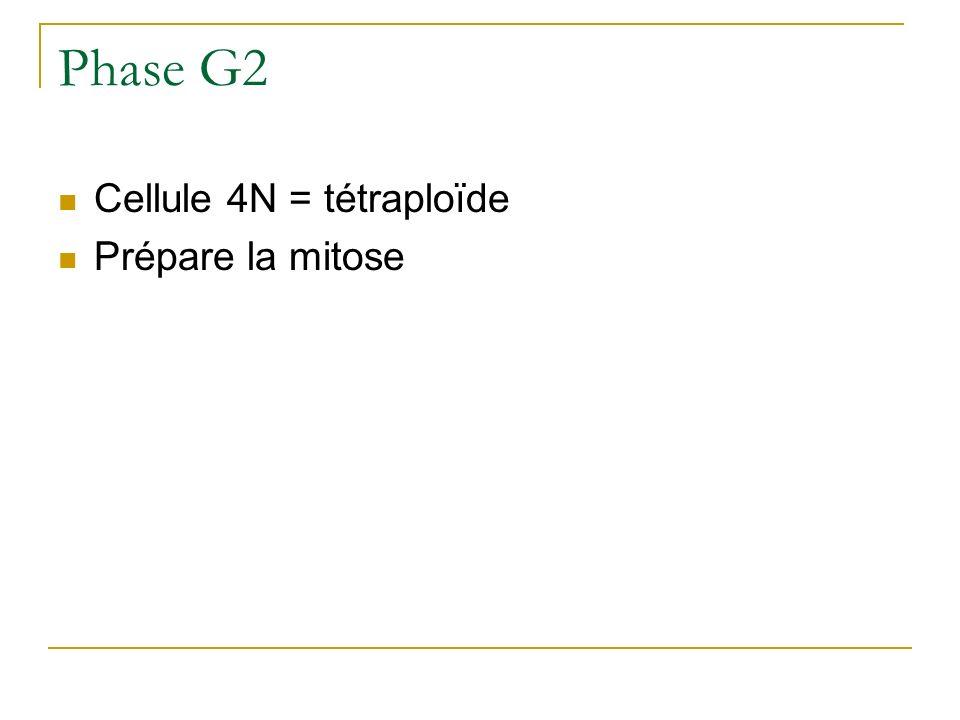 Phase G2 Cellule 4N = tétraploïde Prépare la mitose