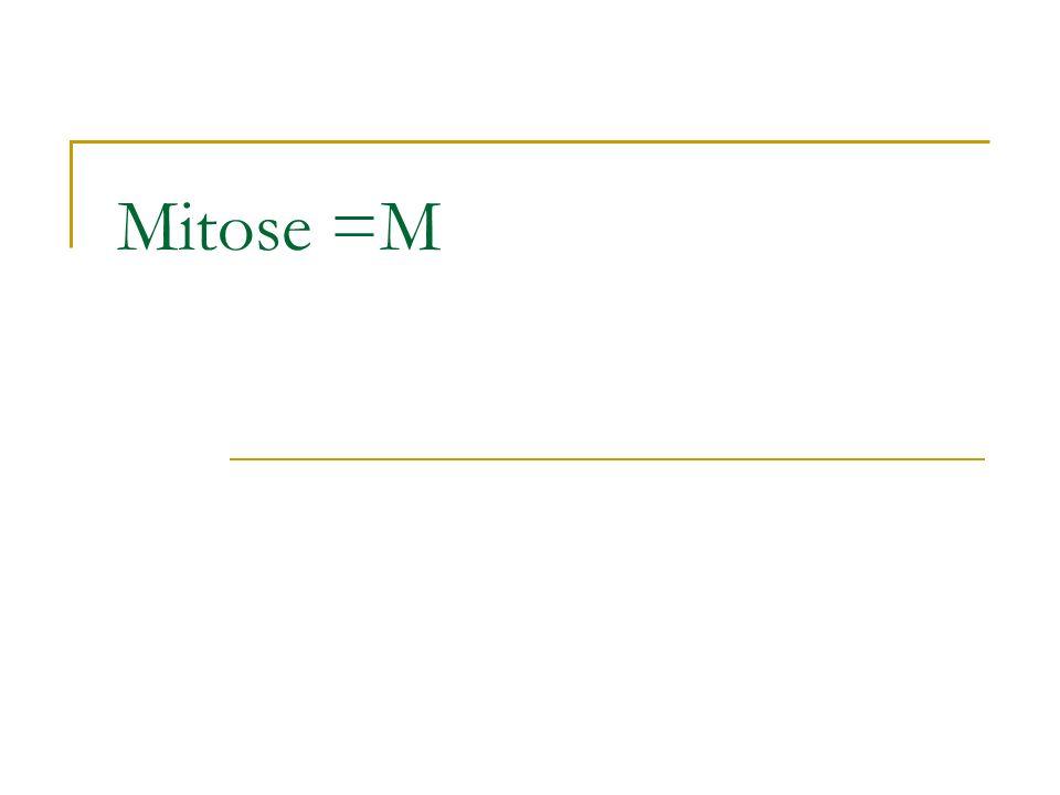 Mitose =M