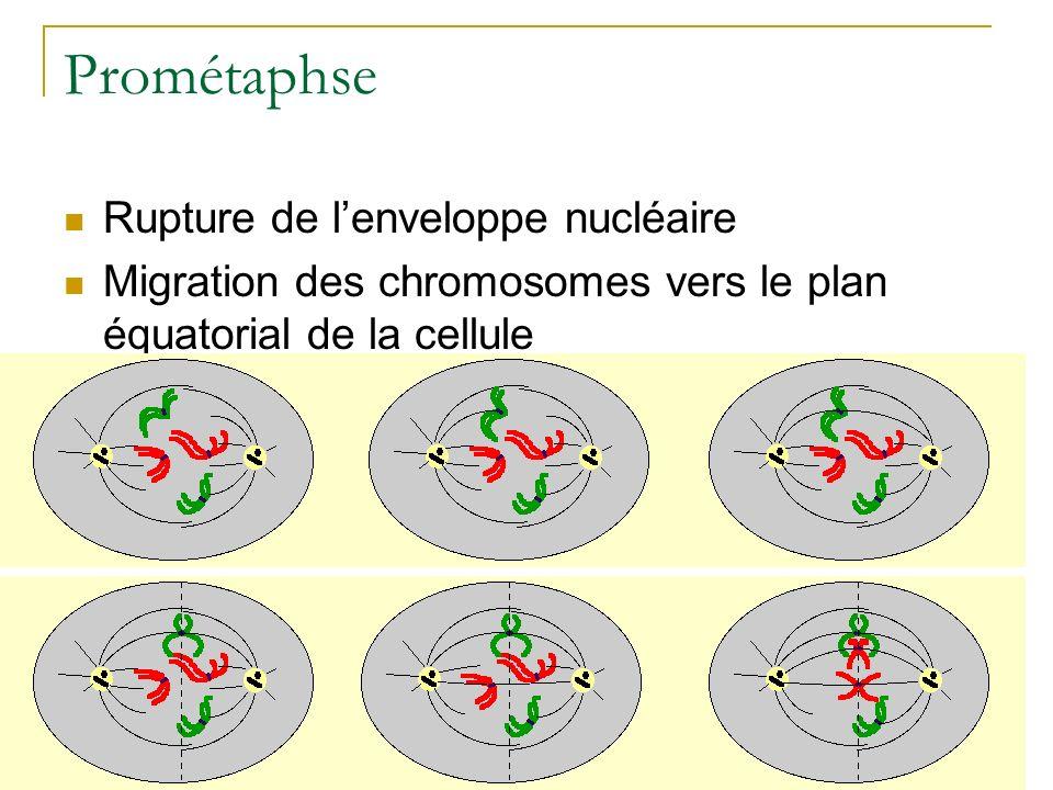Prométaphse Rupture de lenveloppe nucléaire Migration des chromosomes vers le plan équatorial de la cellule