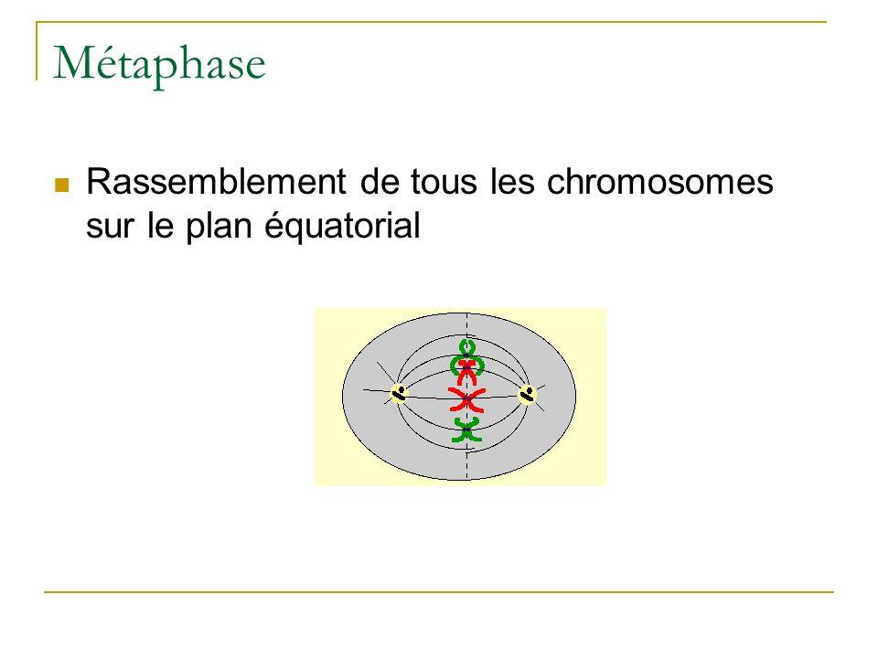 Métaphase Rassemblement de tous les chromosomes sur le plan équatorial