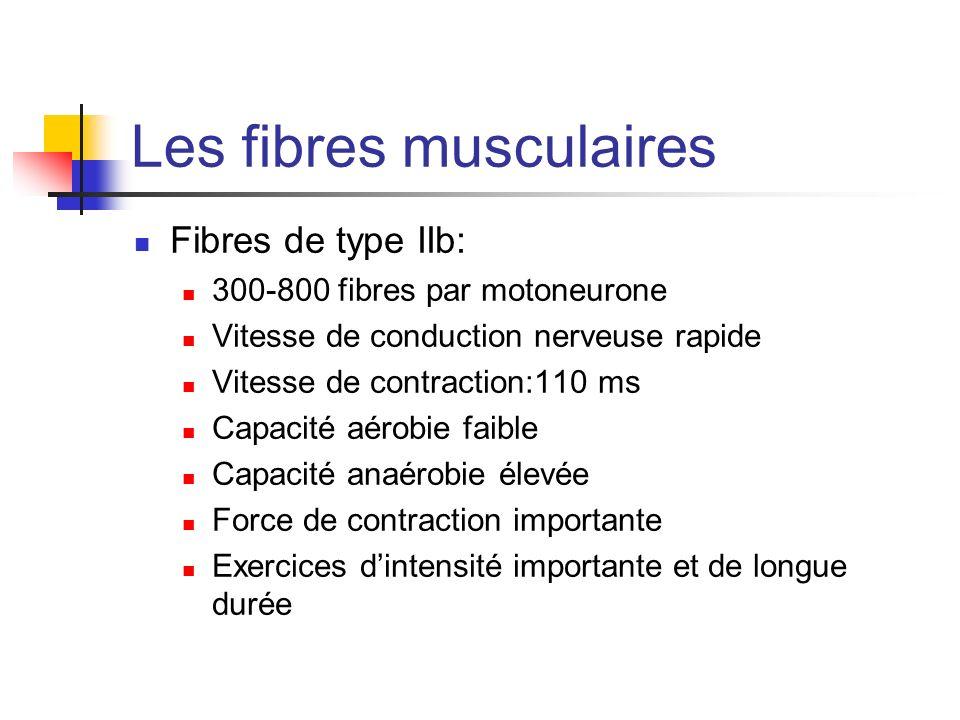 Les fibres musculaires Fibres de type IIb: 300-800 fibres par motoneurone Vitesse de conduction nerveuse rapide Vitesse de contraction:110 ms Capacité