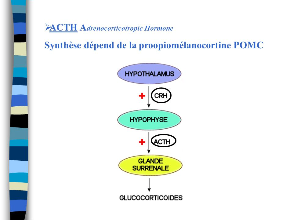 ACTH A drenocorticotropic Hormone Synthèse dépend de la proopiomélanocortine POMC