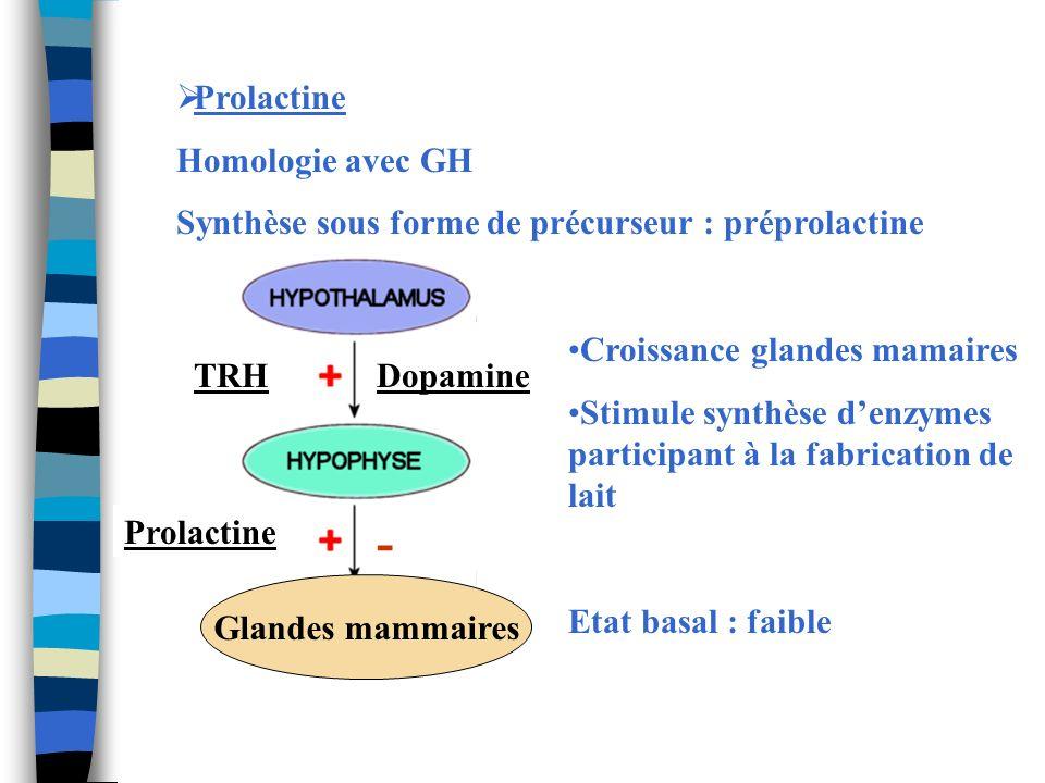 Prolactine Homologie avec GH Synthèse sous forme de précurseur : préprolactine TRH Prolactine Dopamine - Glandes mammaires Croissance glandes mamaires