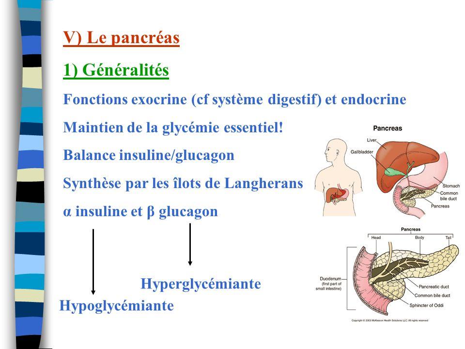 V) Le pancréas 1) Généralités Fonctions exocrine (cf système digestif) et endocrine Maintien de la glycémie essentiel! Balance insuline/glucagon Synth