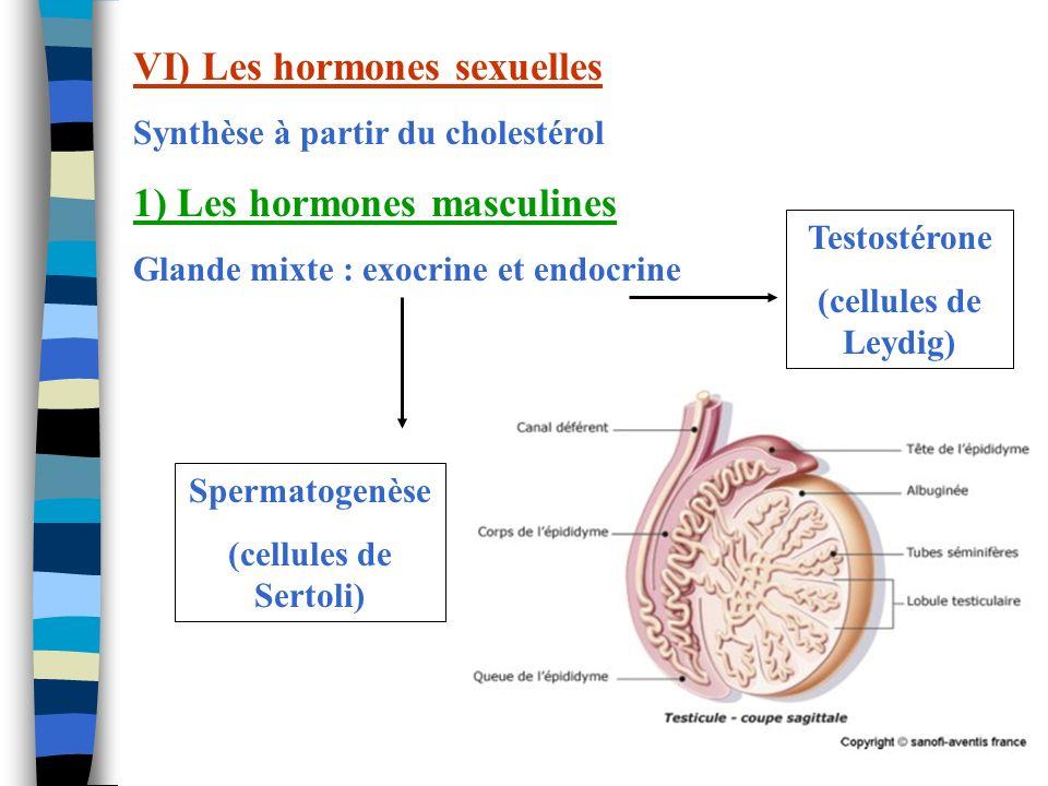 VI) Les hormones sexuelles Synthèse à partir du cholestérol 1) Les hormones masculines Glande mixte : exocrine et endocrine Spermatogenèse (cellules d